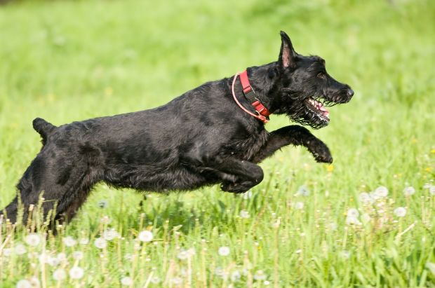 Black Schnauzer running in grass