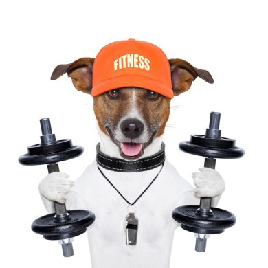 Jack Russel Terrier lifting weights