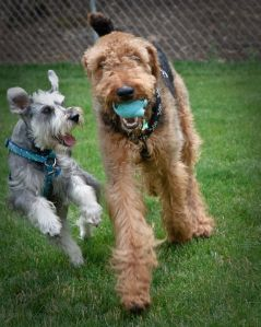 Schnauzer and Airedale playing with ball