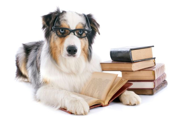 22613431 - purebred australian shepherd  and books in front of white background