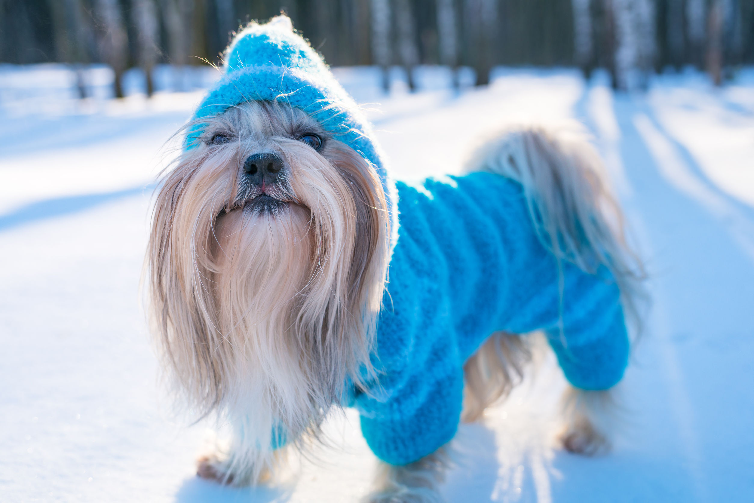 80346687 - shih tzu dog in blue knitted sweater winter outdoors portrait