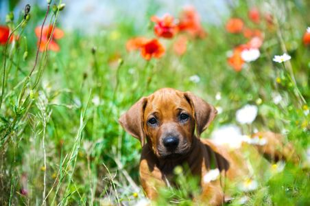 14163002 - cute rhodesian ridgeback puppy in a field