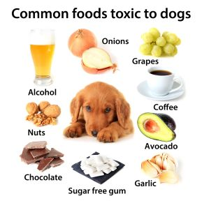 50174473 - chart of toxic foods for dogs. also available without text.